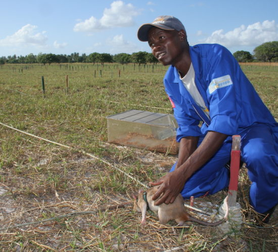 Rats Hunt Landmines Mozambique