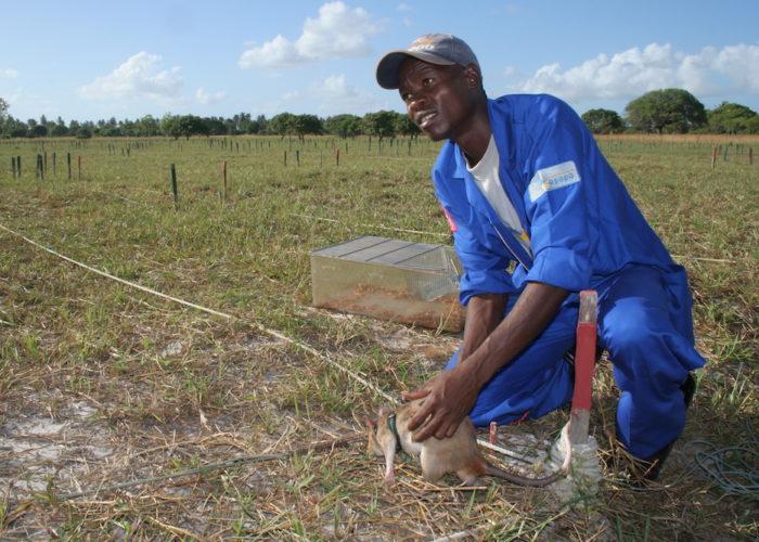 Rats Hunt Landmines Mozambique